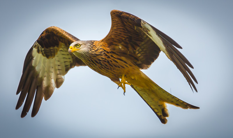 Red Kite In Flight.jpg