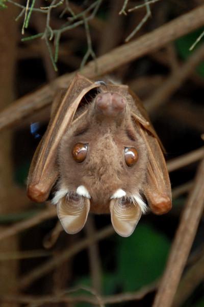 Epauletted Fruit Bat ---- Kenya