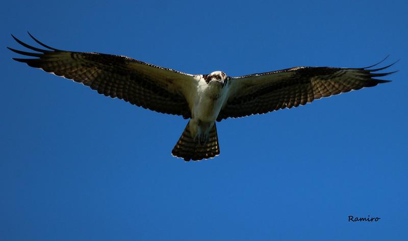 Osprey IMG_5430.jpg