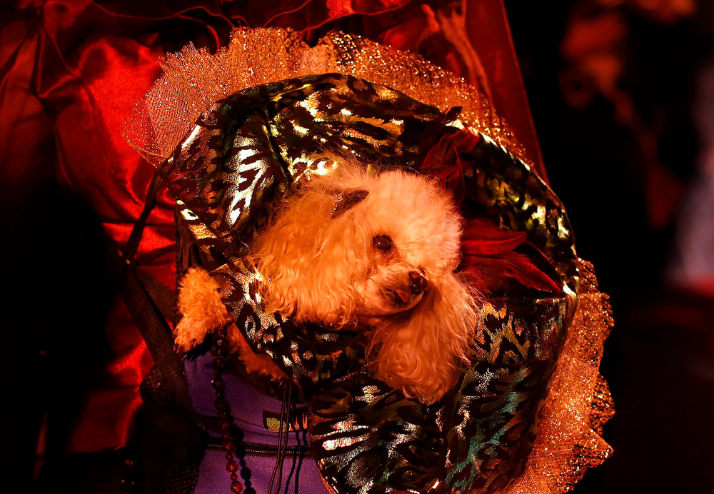 Description of . Boo, a Toy Poodle breed, is seen before the start of the New Yorkie Runway Doggie Fashion Show in New York February 7, 2013. REUTERS/Shannon Stapleton