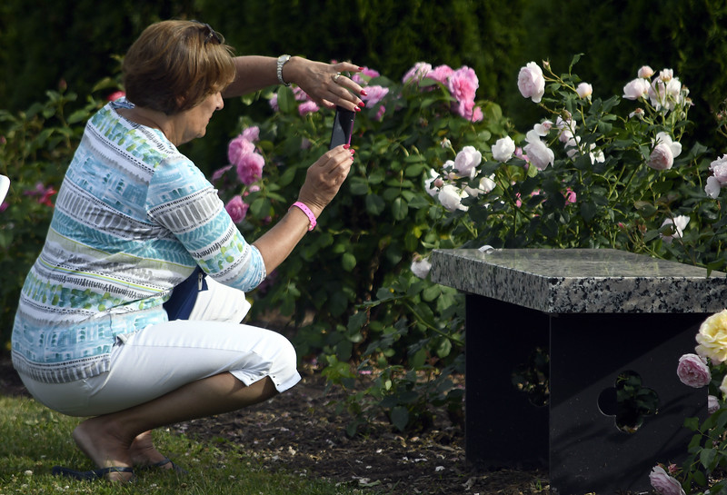 6/16/2018 Mike Orazzi   Staff Mary Alexander photographs roses during the fifth annual New Britain Rose Garden Festival Saturday evening in Walnut Hill Park.
