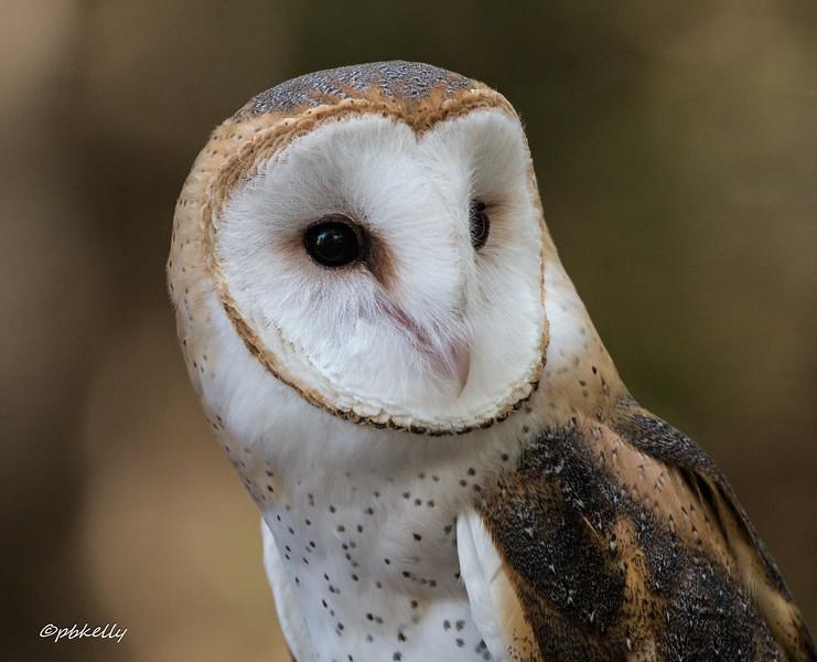 Beautiful head on this Barn Owl.
