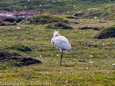 Herons, Storks and Ibises (Ciconiiformes)