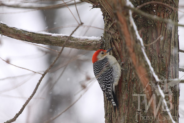 Red-bellied Woodpecker in the fresh snow.