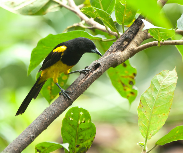 Black-cowled Oriole