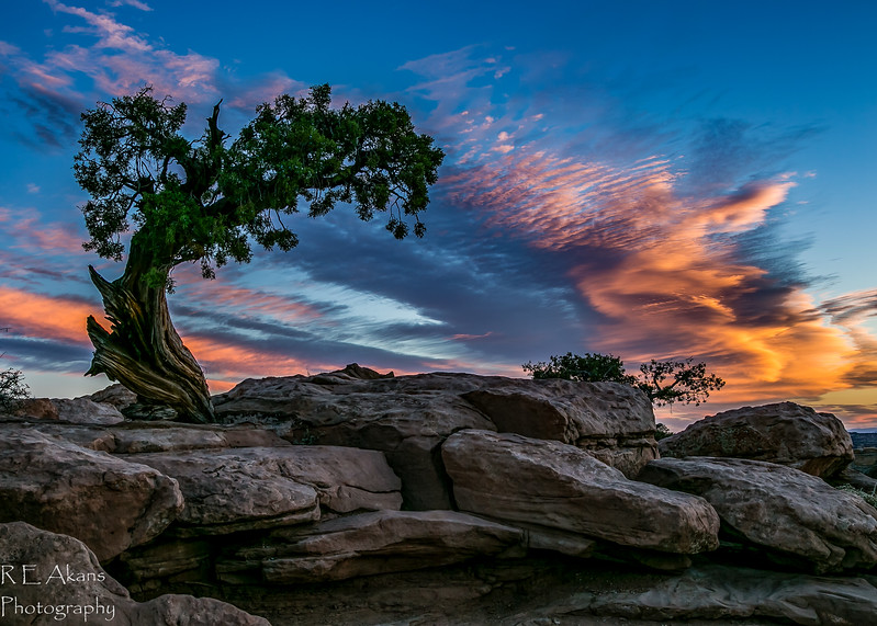 Juniper Tree at Dead Horse Point 113A.jpg