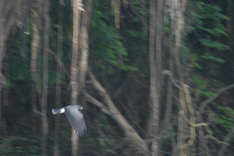 Unidentified Hawk