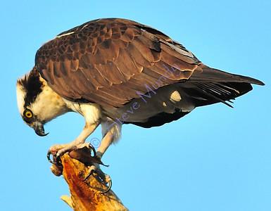 Osprey [2008]
