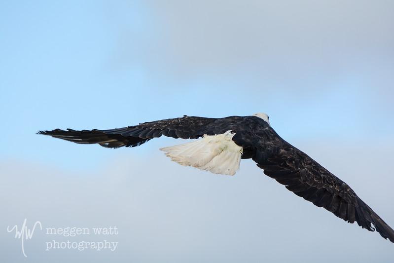 wings of wonder miracle boy eagle release-9262.jpg