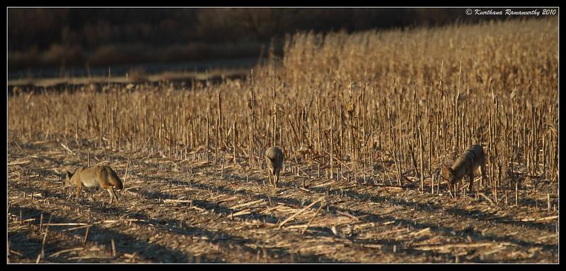 Coyote in the corn field, Bosque Del Apache, Socorro, New Mexico, November 2010