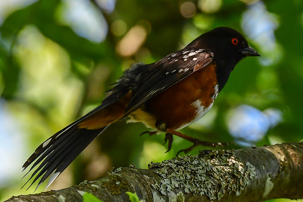 5-26-17 Spotted Towhee
