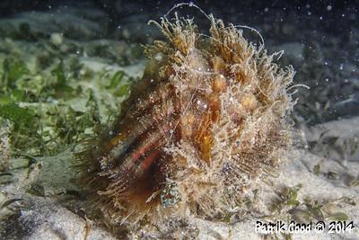Hairy Triton Snail