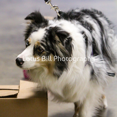 Haven Miniature American Shepherd OH