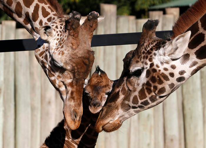 . Six-day-old giraffe with father Buddy (L) and  mother Jacky in Buenos Aires\' zoo July 16, 2013.    REUTERS/Enrique Marcarian