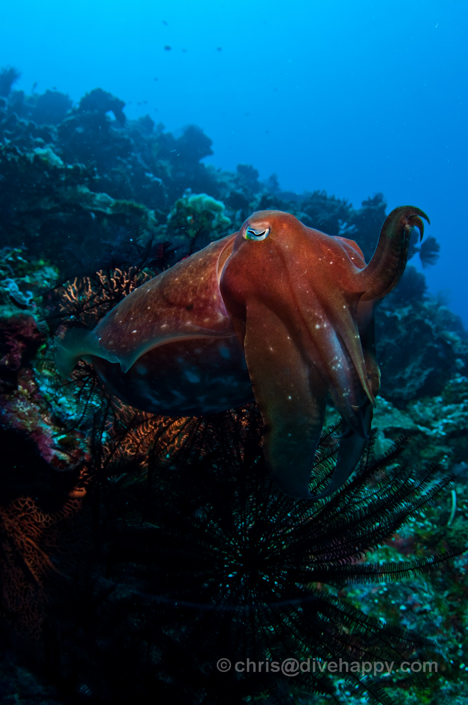 Cuttlefish at Kakoban © Chris Mitchell