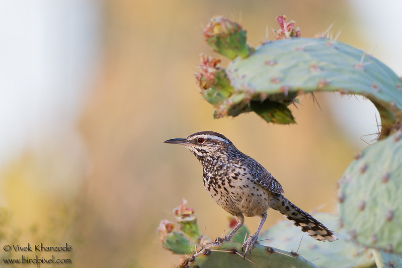 Cactus Wren - Saguaro National Park East, Arizona, USA