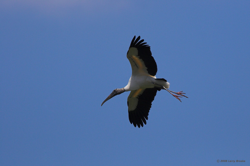 A Wood Stork in flight over the Gatorland rookery.