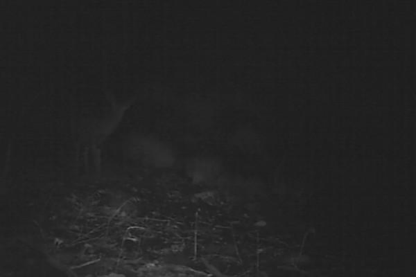 Mule Deer Doe 528 AM.AVI