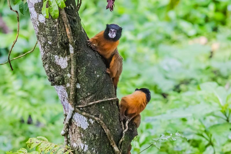 Napo Wildlife Center - Golden Mantled Tamarin - Lina Stock