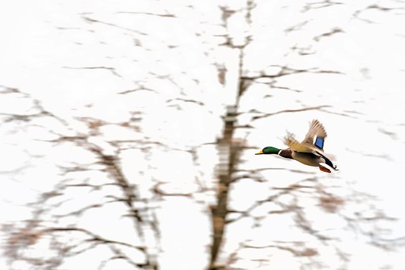 Flying Drake.jpg