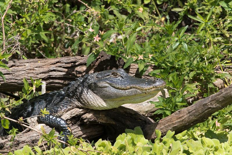 Alligator-4394.jpg