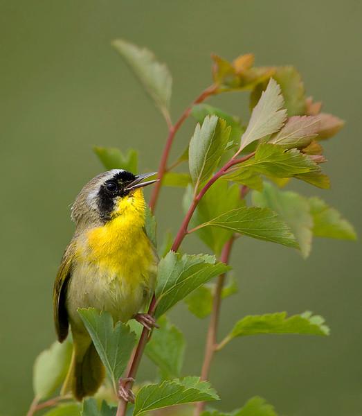 yellow-throat-6002.jpg