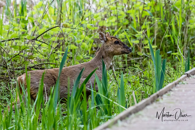 Deer, Water, Chinese