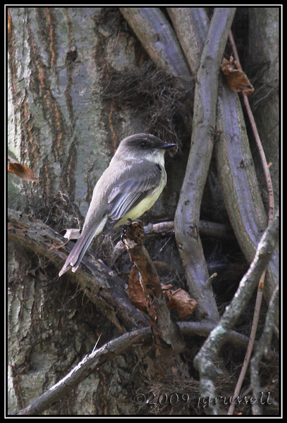 Flycatchers and Phoebes