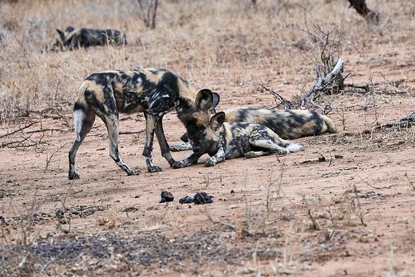 Wild Dogs MalaMala South Africa 2019