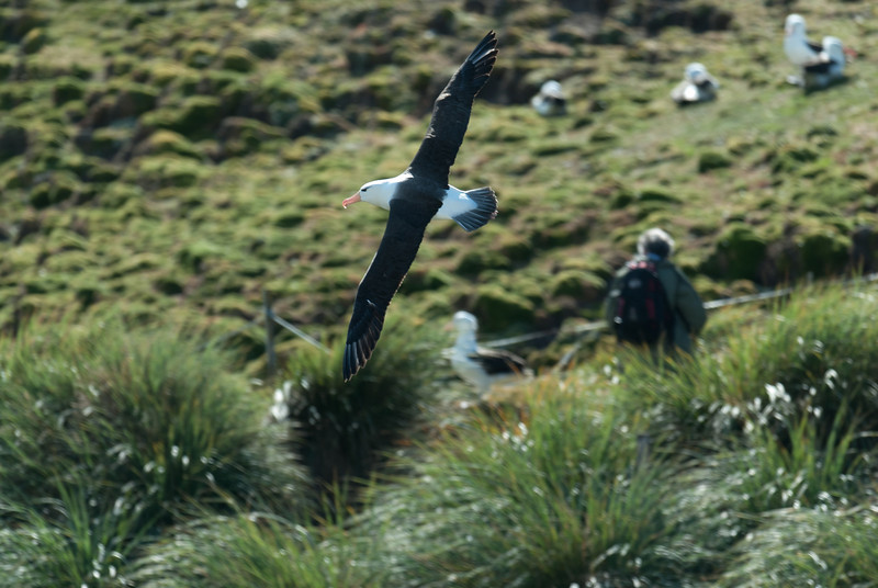 Albatross in flight, West Point Island, Falkland Islands