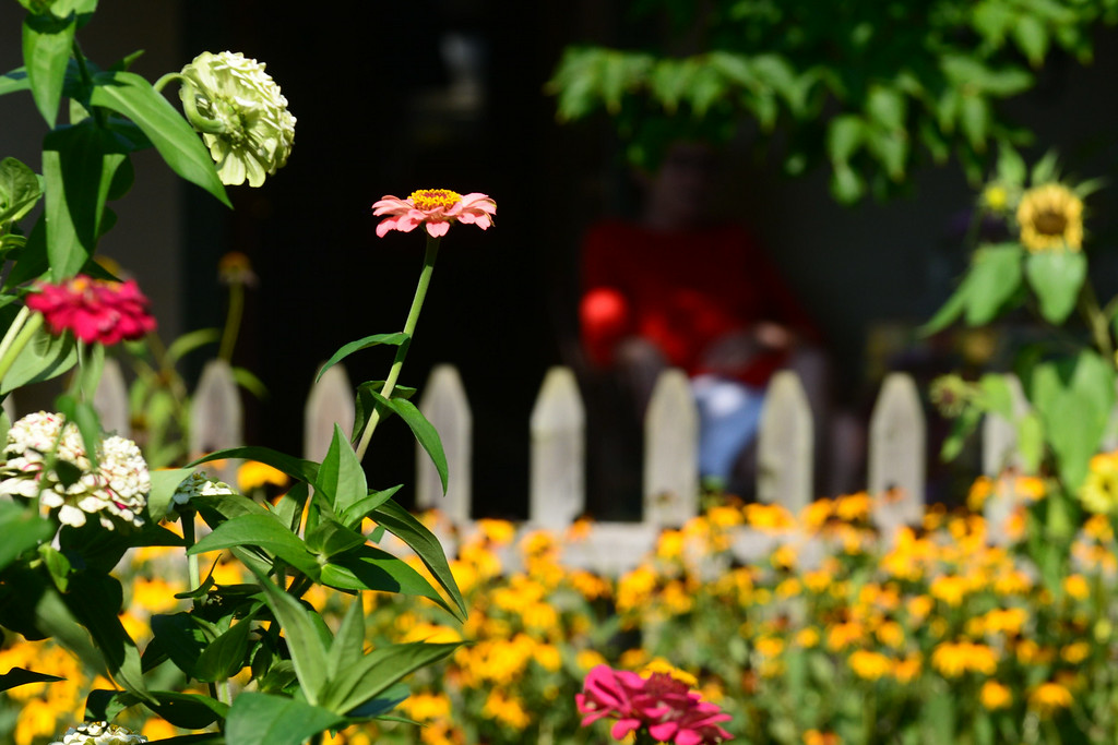 . PHOTO PETE BANNAN- Zinnis in the backyard of Terry Spadoni\'s West Chester row home.