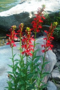 Cardinal Flowers along Blacklick Creek
