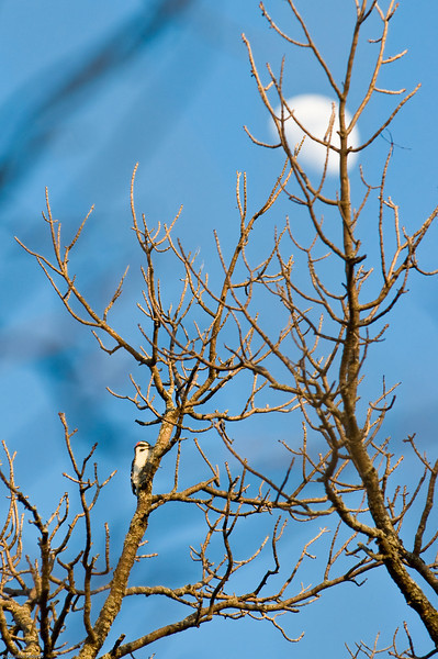 What am I? Downy Woodpecker.