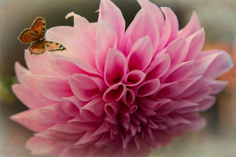 DahliaButterfly.jpg