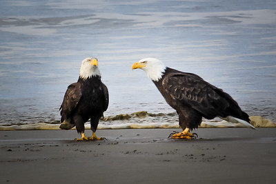 Eagles on Klipsan Beach 1/12/2019