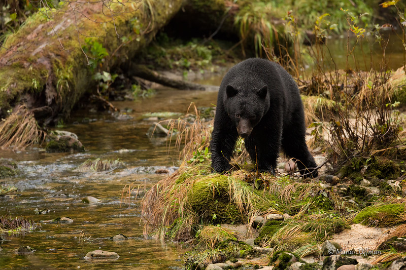 20150926-369A4842Spirit-Bears-British-Columbia.jpg