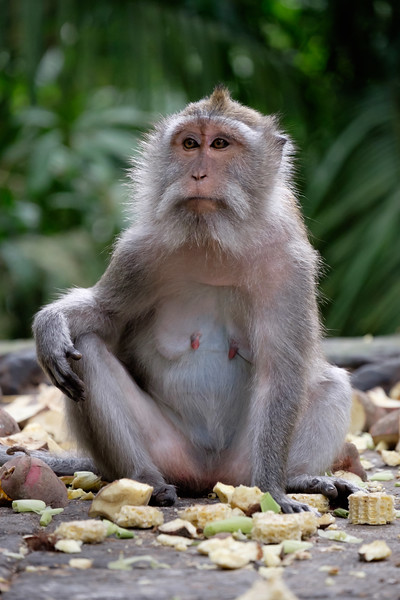 Balinese long-tailed monkey