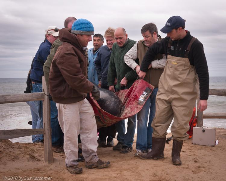 Pilot Whale Rescue, Wellfleet.jpg