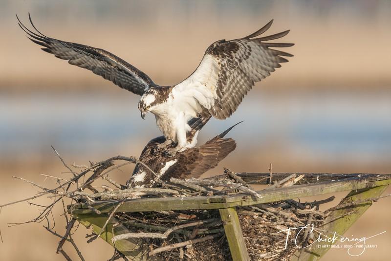 Osprey Pair Mating 04062019-1554672273451.jpg