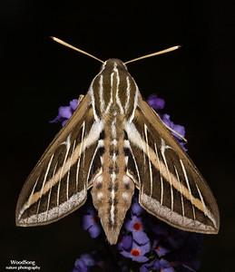 Family Sphingidae