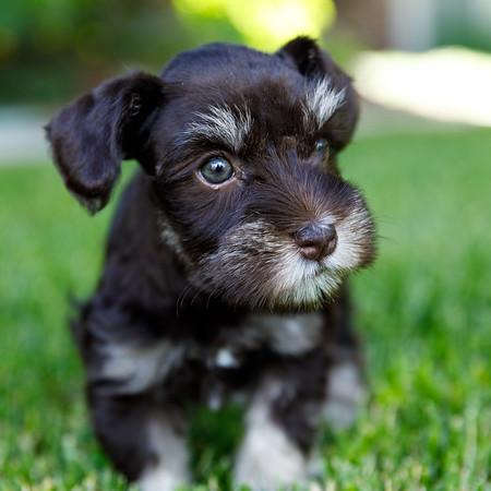 2017 Hancock Puppies