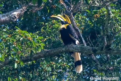Great Hornbill, Keang Krachan National Park, Thailand