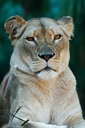 Lion in Sydney Zoo.jpg