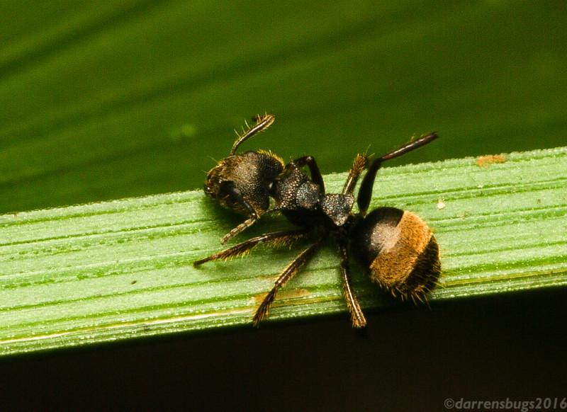 Dolichoderus bispinosus worker from Belize.