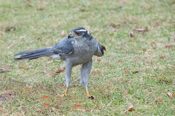 Northern goshawk bird of prey