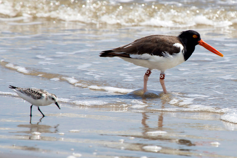 An Oyster Catcher and a Sandpiper