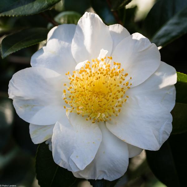 Camellia - Mount Edgecombe