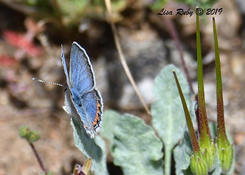 Little Blue Butterfly - 5/16/2019 - Kitchen Creek, east PCT