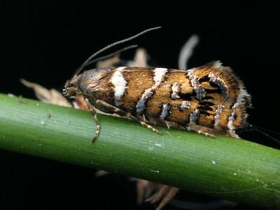 Glyphipterigidae