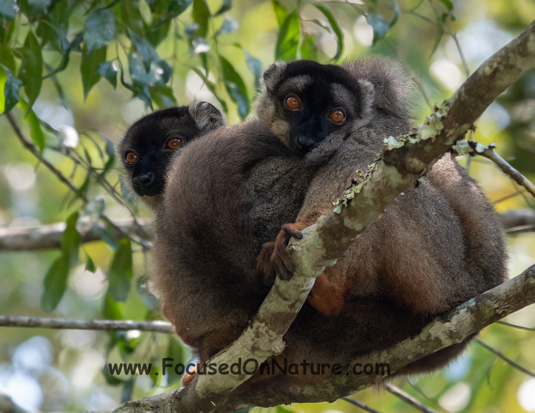 Common Brown Lemur Snuggle
